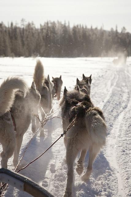 voyage de noces traineau chien finlande