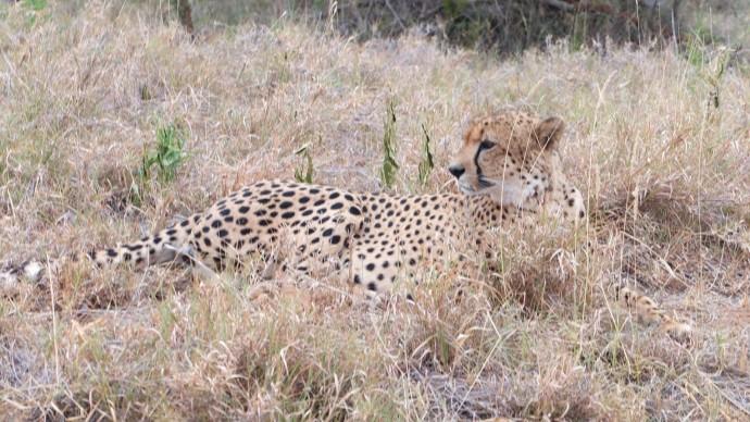 guepard kruger park