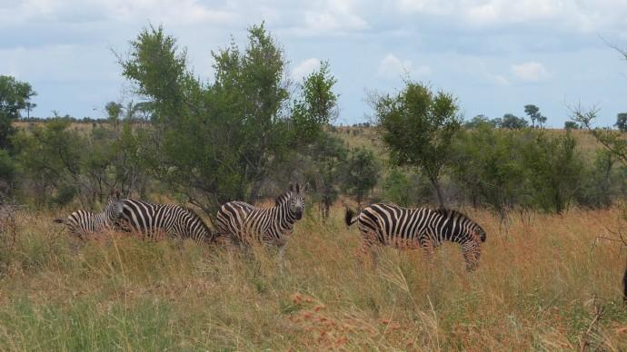 zebres kruger park